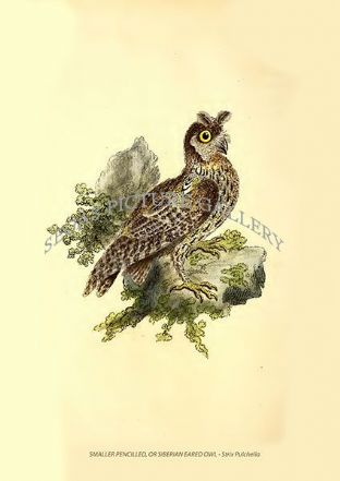 SMALLER PENCILLED, OR SIBERIAN EARED OWL - Strix Pulchella